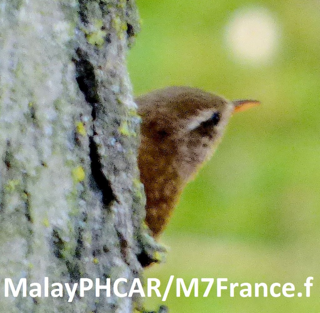 Troglodyte Mignon, photos de Malay PHCAR/M7France